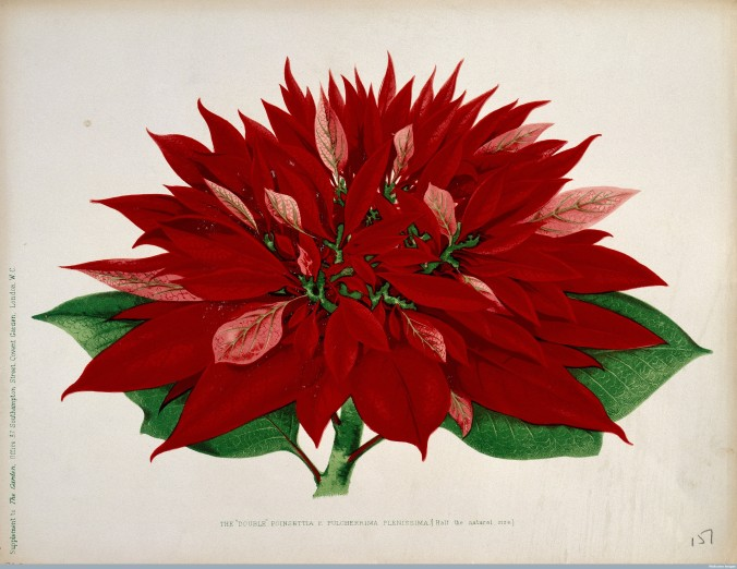 L0025245 A double flowered poinsettia (Euphorbia pulcherrima): flower